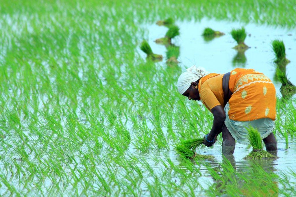 """Warum ist """"Bio"""" gerade bei Reis so wichtig? 2"""