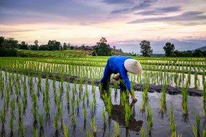 Wie funktioniert traditioneller Reisanbau? 12