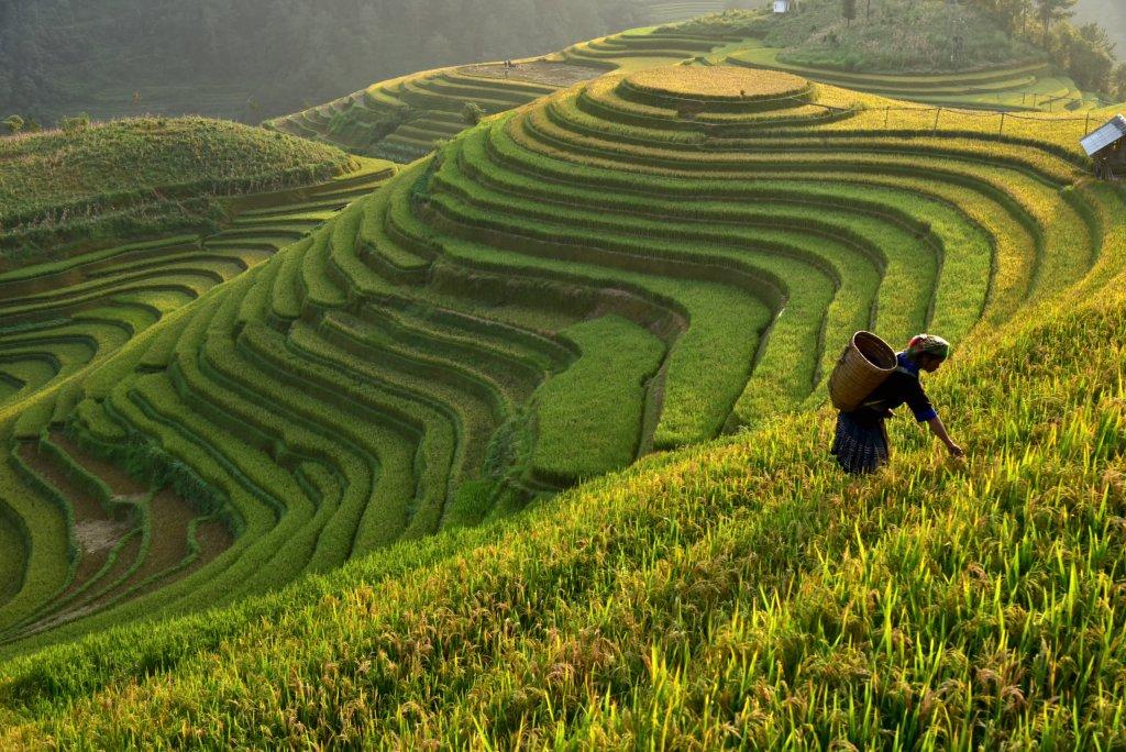 Wie funktioniert traditioneller Reisanbau? 1